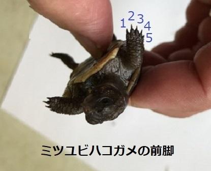 ミツユビハコガメの前脚.jpg
