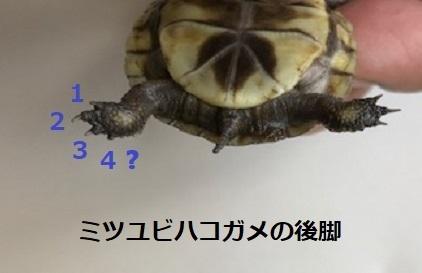 ミツユビハコガメの後脚.jpg