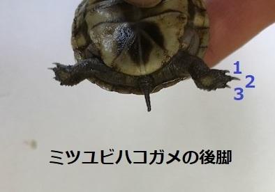 ミツユビハコガメの後脚2.jpg